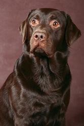 дрессировка собак и щенков  с 2-3 месяца